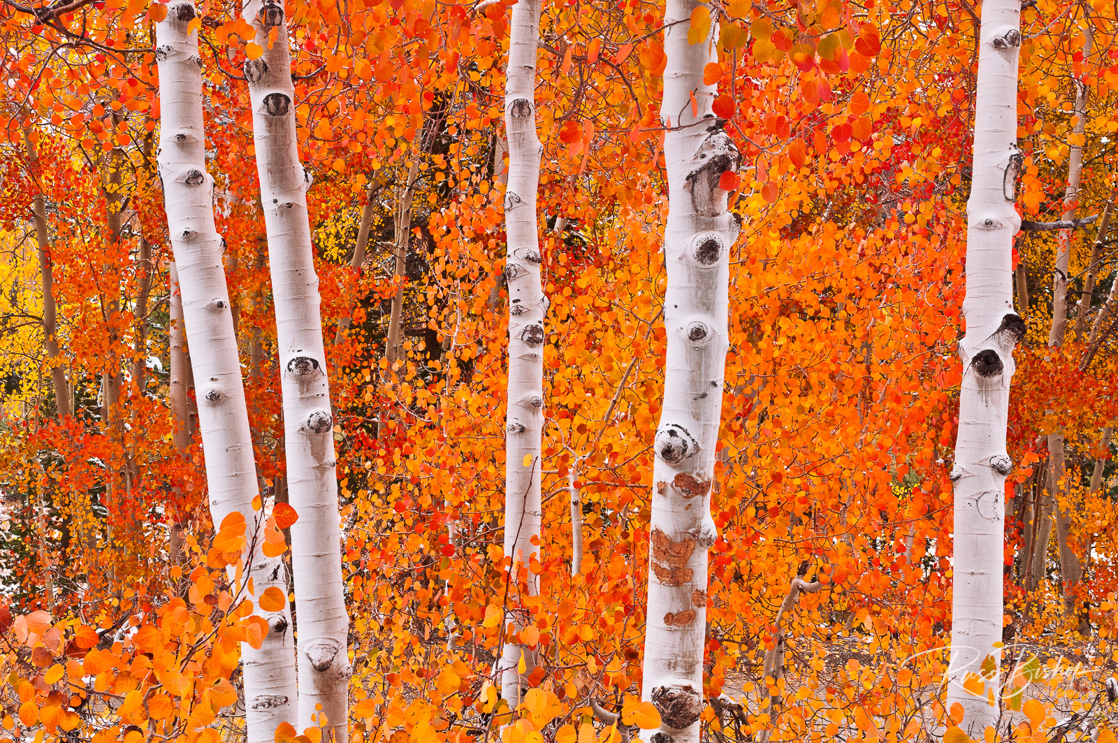 Fresh snow on fall aspens, Inyo National Forest, California