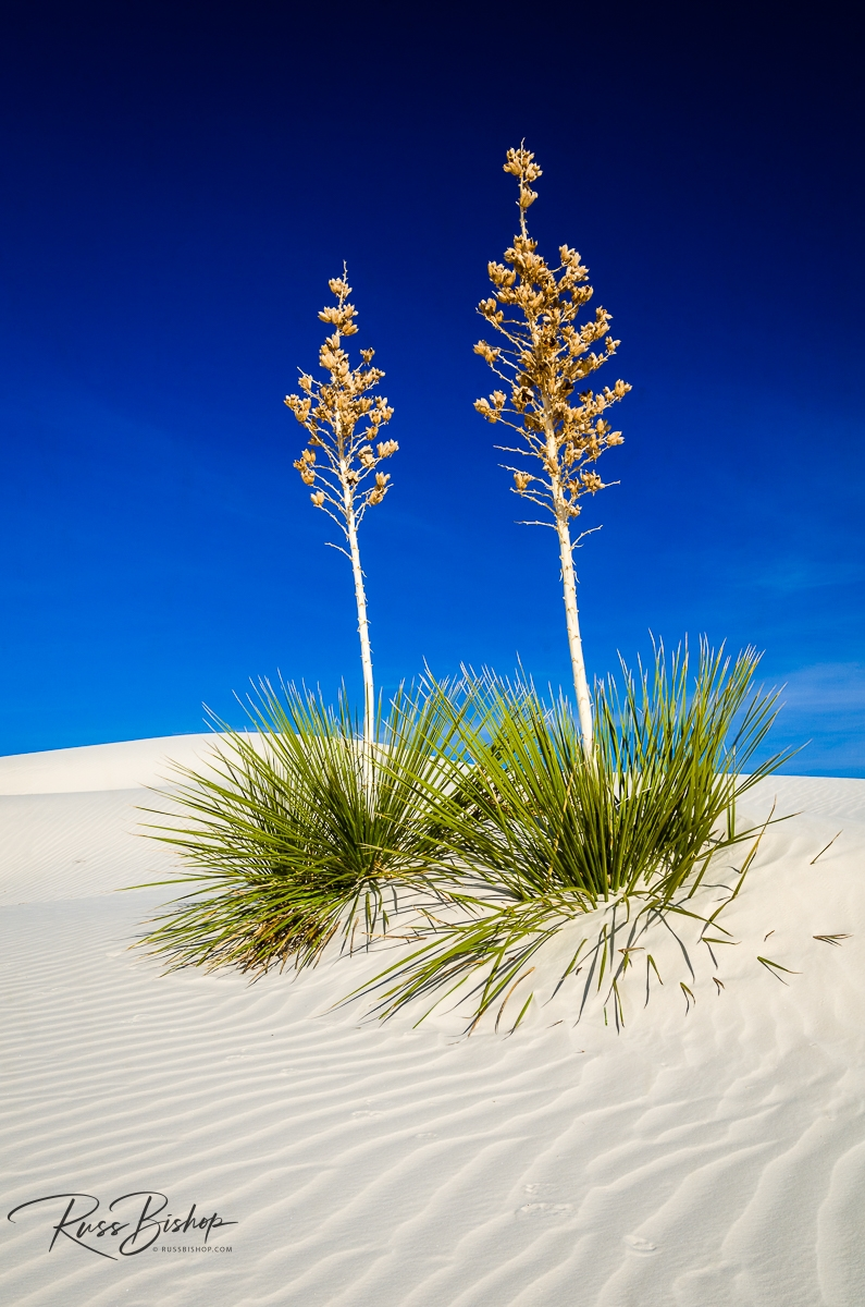 Soaptree Yucca (Yucca elata) and dunes, White Sands National Park, New Mexico