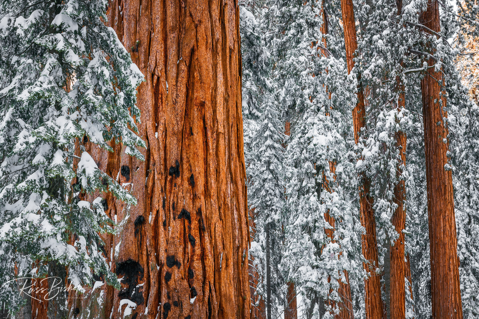 Giant Sequoia in the Congress Grove, Sequoia National Park, California