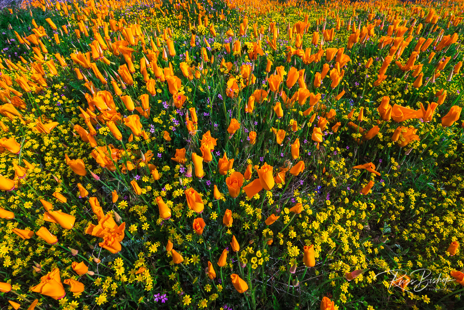 California Poppies and Goldfield, Antelope Valley, California